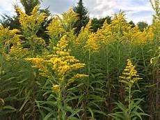 Ragweed Picture Ragweed Pollen Forecast When And How Much Nj Com