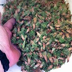 How To Treat Bagworms My Cedar Trees Are Loaded With Bagworms How Can I Control