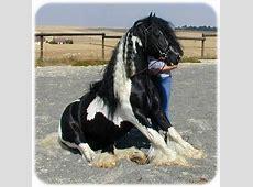 Rom Baro   Gypsy Horse Stallion