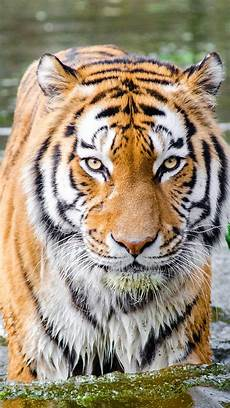 tiger wallpaper iphone 7 plus tiger in water hd wallpapers hd wallpapers id 21745