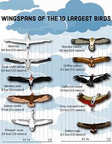 Bird Wingspan Chart Top 10 Largest Birds On Earth Wingspans Hubpages