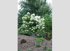 Pink Diamond Hydrangea (tree form) (Hydrangea paniculata