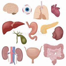 organi interni corpo umano organi di parti interni corpo umano messi isolati