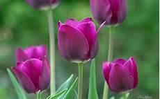 tulipani fiori fiori viola tulipani primavera hd wallpaper gratis