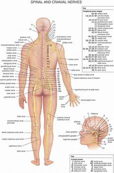 Chart Of Nerves In Back Human Physiology The Spinal And Cranial Nerves Nerve