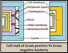Gram Positive And Gram Negative Bacteria Chart Difference Between Gram Positive And Gram Negative