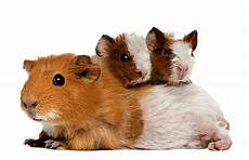 guinea pigs and rabbits eat a specific diet treat them well
