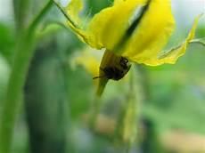 fiori di pomodoro come favorire l impollinazione pomodoro il di
