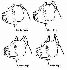 Bully Ear Crop Chart Ear Cropping Styles Good Pit Bulls