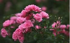 live flower wallpaper for desktop roses wallpaper for desktop 46 images