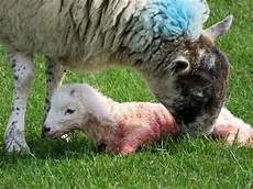 Newborn Lamb 2016 Revisited April In Which I