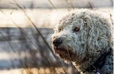 Goldendoodle Food Chart Best Dog Food For Goldendoodles 2019