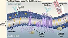 Cholesterol In Cell Membrane Biology 11 Topic 2 Transport Across The Membranes