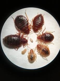 How Do You Get Bed Bugs Can You Have Carpet Beetles And Bed Bugs At The Same Time