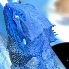 Blue Night Light For Bearded Dragon Flickr Photo Sharing