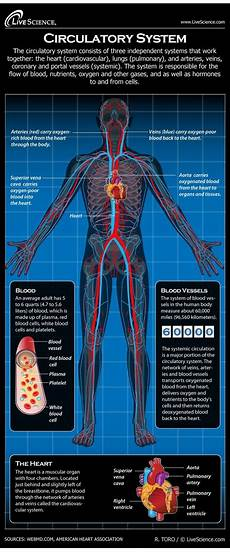 Circulatory System Organs What Are The Main Organs In The Circulatory System What