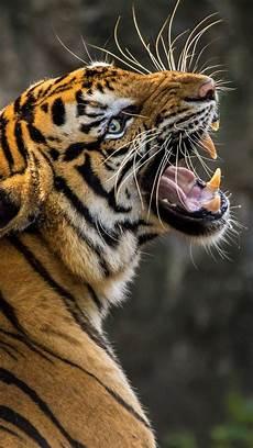 tiger wallpaper iphone 7 plus tiger 4k wallpapers hd wallpapers id 23925