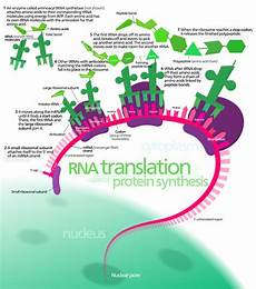 Translation Science Protein Synthesis Visual Graphic Rna Translation Protein