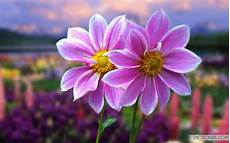 Flower Wallpaper For Laptop by The Most Beautiful And Colorful Flowers Wallpapers For