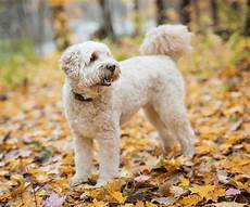 Goldendoodle Food Chart 9 Best Healthiest Puppy Foods For A Goldendoodle Puppy