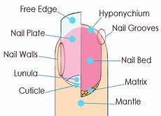 Nail Diagram Colour Your Style Nail Care Tips