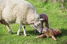 Newborn Lamb A Ewe A Just Newborn Lamb Lying On The Grass In A