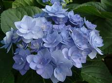 hydrangea you me 001 planthaven international