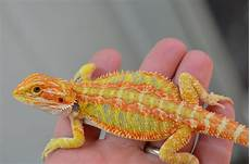 Bearded Dragon Color Chart Bearded Dragon Breeders For Color Lovers