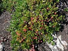 Bear Berry Bearberry Plant Britannica