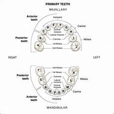 Deciduous Teeth Chart Primary Dentition An Overview Of Dental Anatomy