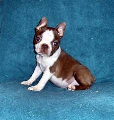 Boston Terrier Colors Chart Boston Terrier Colors Amp Patterns Which Should You Choose