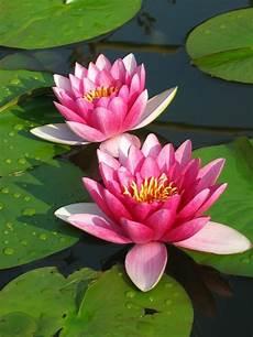 Flor De Lotus Flor De L 243 Tus Conhe 231 A As Curiosidades Da Planta Oriental