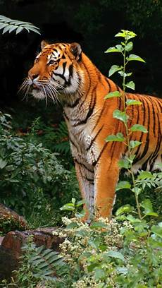tiger wallpaper iphone 7 tiger in jungle wallpaper for iphone x 8 7 6 free