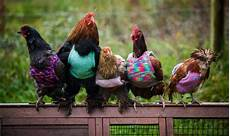 chicken clothes fashionable chickens should you clothe your poultry in