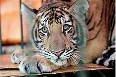 tigre in gabbia mugnano cucciolo di tigre tenuto in gabbia in un casolare
