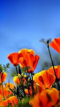 poppy flower wallpaper iphone poppy field iphone 6 wallpaper 32140 flowers iphone 6