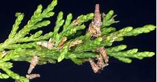 How To Treat Bagworms Arthro Pod How To Deal With Bagworms