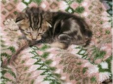 Bengal manx kittens for sale   About Animals