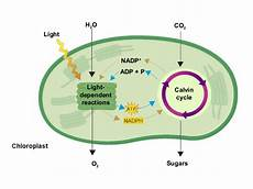 Does The Calvin Cycle Require Light Photo Amp Cr Notes