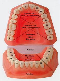 tooth numbering dental dictionary and tooth charts
