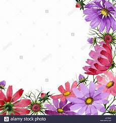 cornice di fiori millefiori kosmeya cornice di fiori in un stile acquerello