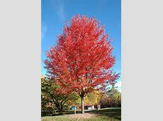 Autumn Blaze Maple (Acer x freemanii 'Jeffersred') in