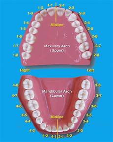 tooth numbering tooth numbering system fdi iso palmer ada dental