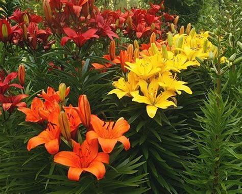 lilium fiori lilium bulbi caratteristiche lilium