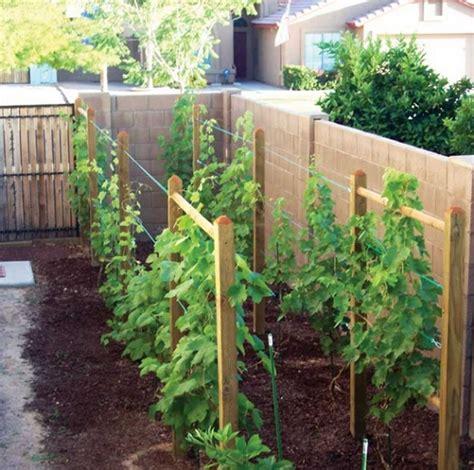 Bibit Pohon Anggur Merah cara budidaya anggur di halaman rumah