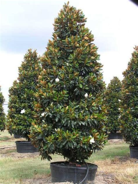 where to buy trees magnolia grandiflora gem magnolia blerick trees buy