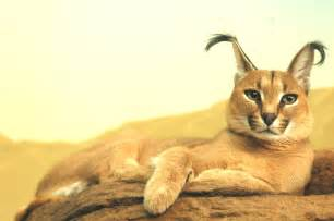 This strange wild cat is called a caracal and it might just be the