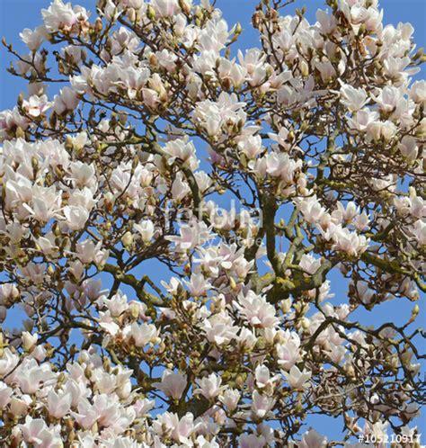 immagini magnolia fiore quot fiori di magnolia grandiflora quot immagini e fotografie