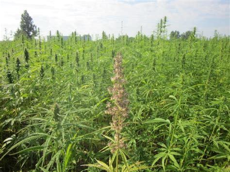 le canapé canapa bamb 249 quinoa prende piede l agricoltura