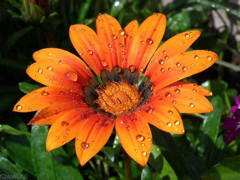 rain on a flower by chloelkb on deviantart